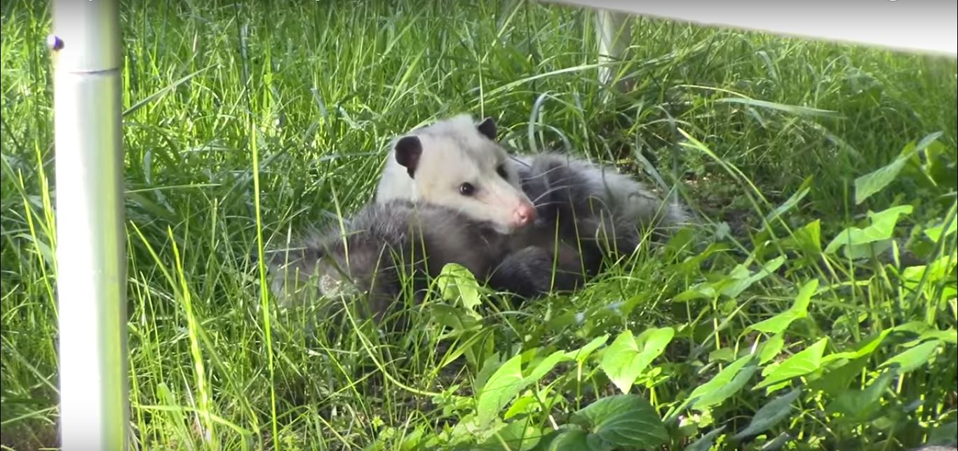 Are Opossums Dangerous to Cats, Dogs, or Other Pets?